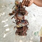 Coconut Crabs!
